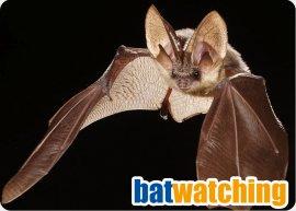 Bat_Watching.jpg